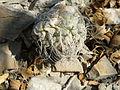 Strombocactus disciformis (5780101679).jpg