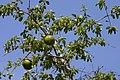 Strychnos spinosa - Flickr - Ragnhild & Neil Crawford.jpg
