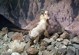 Arabian tahr - Stuffed tahr at the Natural History Museum of the Ministry of National Heritage and Culture in Al-Khuwair, Muscat, Oman