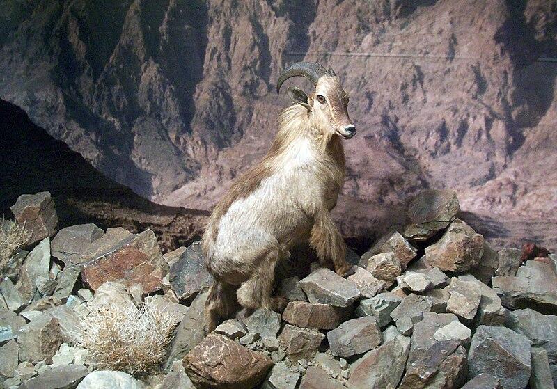 File:Stuffed Arabian Tahr.jpg