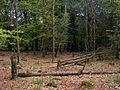 Stuk bos zonder ondergroei in Nationaal Park Veluwezoom.JPG