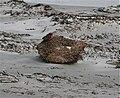 Sturnella loyca -East Falkland-8.jpg