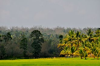 Sultan Bathery - Rice Farm in Sulthan Bathery