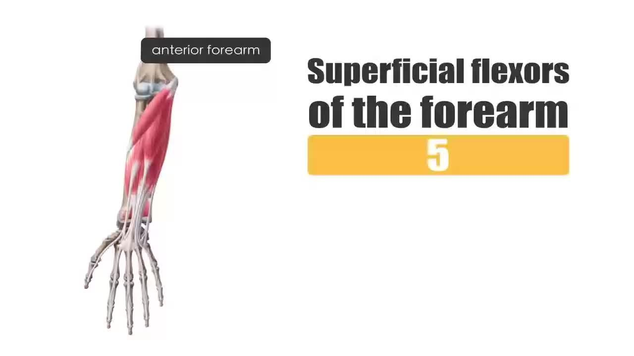 Filesuperficial Flexors Of The Forearm Preview Human Anatomy