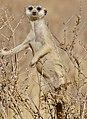 Suricate (Suricata suricatta) looking out from a bush ... (50102685688).jpg