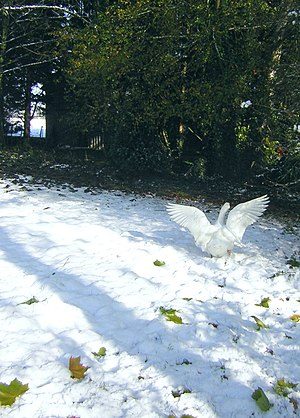 Surreal beauty-Duck is dancing on the snow-Zenera.jpg