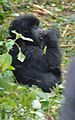Susa group, mountain gorillas - Flickr - Dave Proffer (2).jpg
