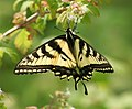 Swallowtail (of some variety) (4787223967).jpg