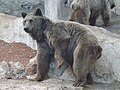 Syrian brown bear hybrid 09.jpg