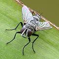 Tachinidae crop.jpg