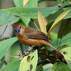 Tachyphonus cristatus - Flame-crested Tanager (female) 01.JPG