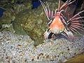 TailbarLionfish.JPG
