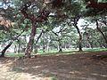 Takashi-Ryokuchi Park - Pine trees3.jpg