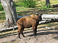 Takin (Budorcas taxicolor) in Korkeasaari Zoo, Helsinki, Finland.jpg
