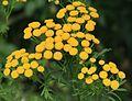 Tanacetum vulgare (Tansy) - Flickr - S. Rae.jpg
