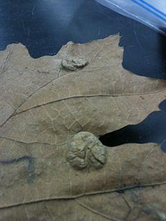 <i>Taphrina caerulescens</i>