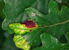 Taphrina caerulescens Quercus alba.jpg