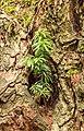 Taxus uitgezaaid in een knotwilg. 28-07-2019. (d.j.b). 04.jpg