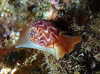 <i>Tectonatica</i> Genus of gastropods