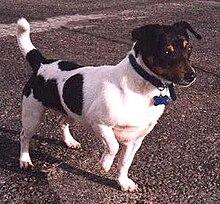 Teddy Roosevelt Terrier Wikipedia