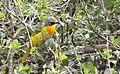 Telophorus sulfureopectus -Hluhluwe-Umfolozi Game Reserve, South Africa-8 (1).jpg