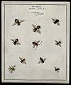 Ten bees (Apis species). Coloured etching by M. Harris, ca. Wellcome V0022490ER.jpg