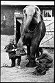 Tending to the elephant (6537938795).jpg