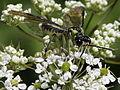 Tenthredo (Eurogaster) mesomela from Slovakia (7614222250).jpg