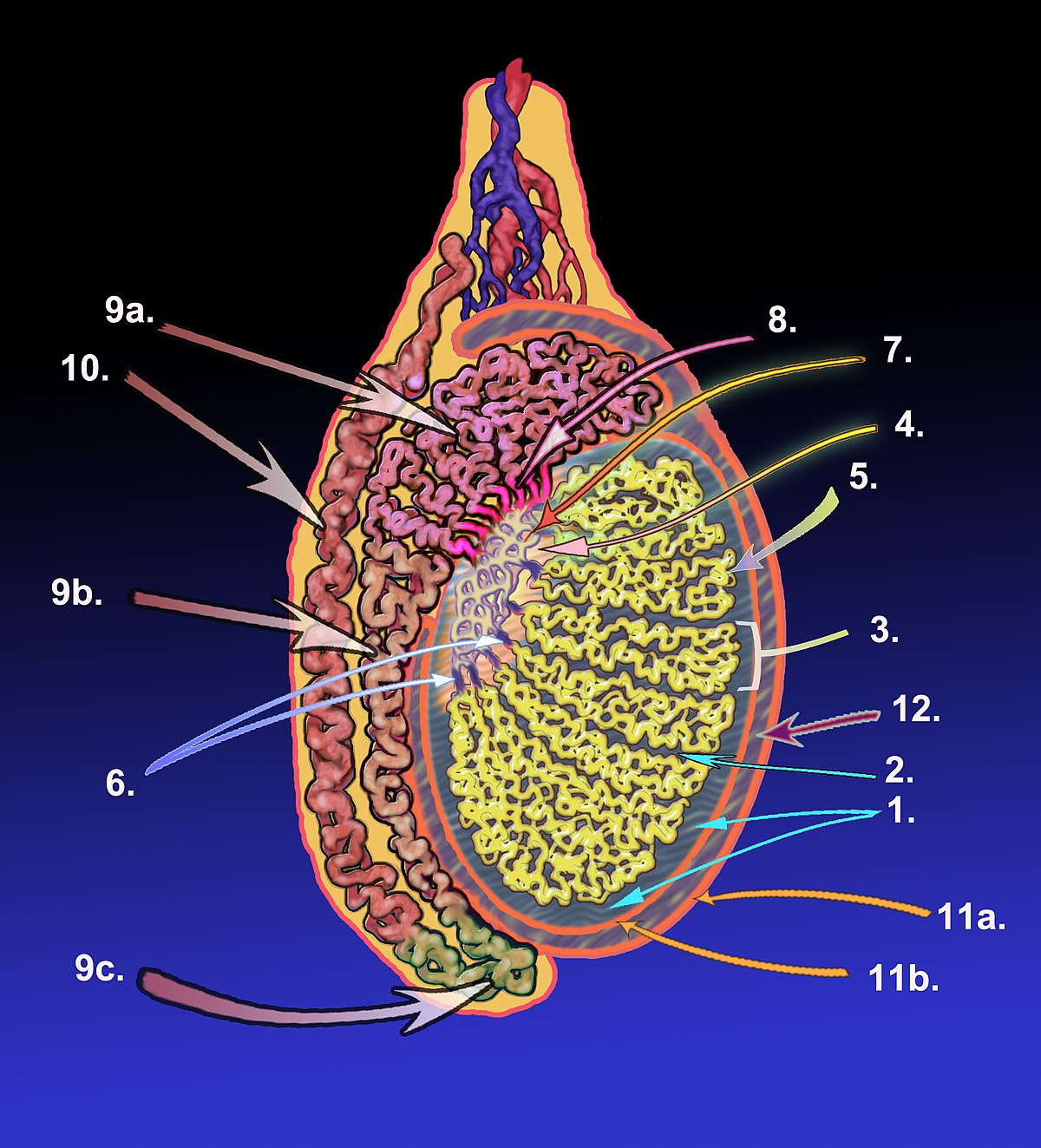 Tunica albuginea of testis - Wikipedia