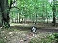 The Bank forming the boundary of Thunderdell Wood, Ashridge - geograph.org.uk - 1378680.jpg