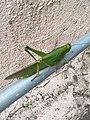 The Landing Grasshopper.jpg