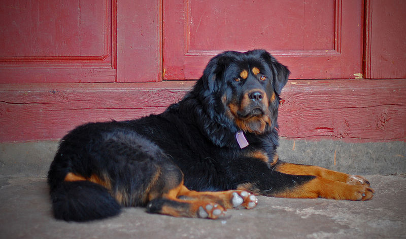 File:The Tibetan Mastiff at our Hostel.jpg