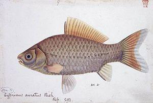 Thomas Hardwicke - Carassius auratus