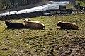 Three Highland cattle sun-bathing - geograph.org.uk - 1734091.jpg