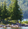 Thuja occidentalis Acadia 0463.jpg
