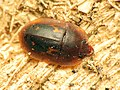 Tiny Sap-feeding Beetle (32977451442).jpg