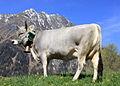 Tiroler Grauvieh0005.jpg