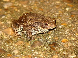 English: Toad