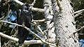 Tofino.Corvus.corax.principalis.P1034040.jpg