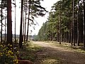 Track through Swinley Forest - geograph.org.uk - 714801.jpg