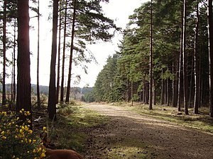 Swinley Forest - Track through Swinley Forest