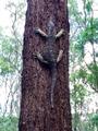 Tree Goanna on Eucalyptus.png