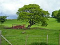 Tree Near Blairs - geograph.org.uk - 431730.jpg