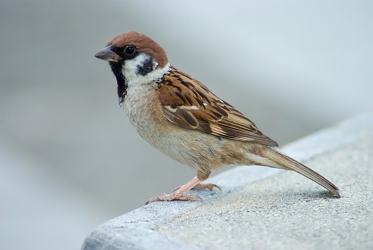 Image result for eurasian tree sparrow
