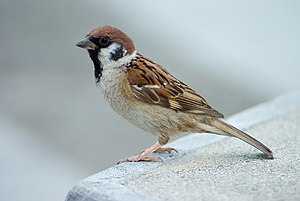 Eurasian tree sparrow - Adult of subspecies P. m. saturatus in Japan