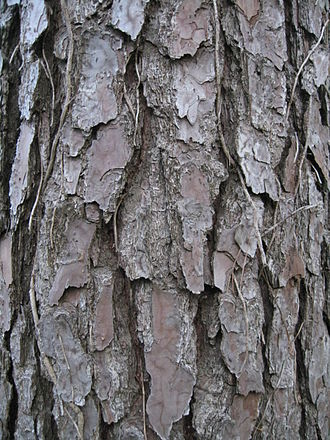 Pinus taeda - Bark on a mature tree
