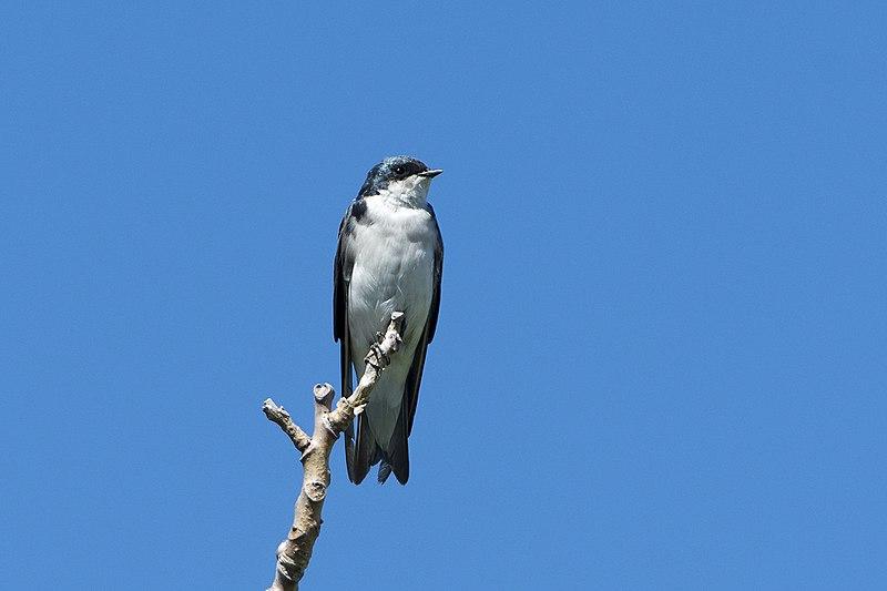 File:Tree swallow pirates cove (20770172310).jpg