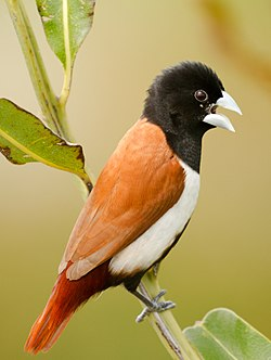 Tricoloured munia (cropped).jpg