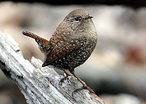 Winter wren - In Central Park, New York.