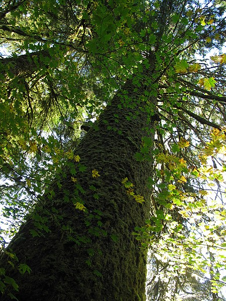 File:Tsuga heterophylla in Seymour Valley Vancouver.jpg